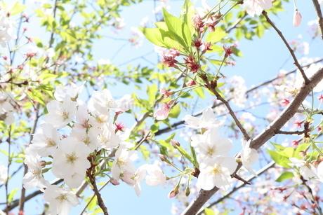 桜の花の写真素材 [FYI04283893]