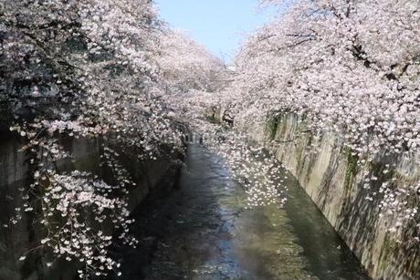 東京、神田川の桜の花の写真素材 [FYI04283895]