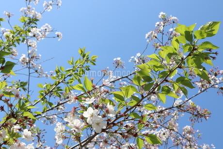 葉桜と青空の写真素材 [FYI04283915]
