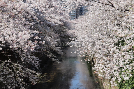 川沿いの満開の桜並木の写真素材 [FYI04283917]