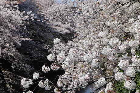 満開の桜の写真素材 [FYI04283918]