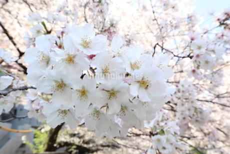 桜の花の写真素材 [FYI04283920]
