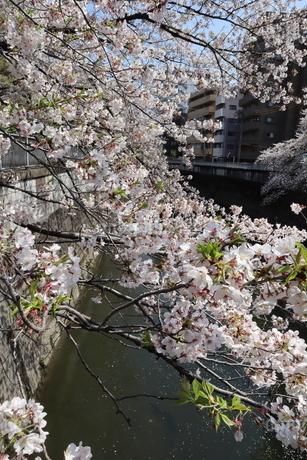 東京、神田川の桜の花の写真素材 [FYI04283928]