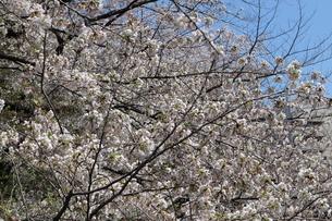 桜の花の写真素材 [FYI04283930]