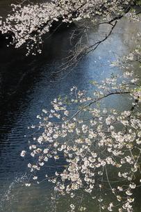 東京、神田川の桜の花の写真素材 [FYI04283931]