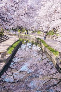 元荒川の桜並木の写真素材 [FYI04283961]