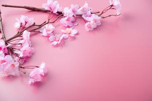 アーティフィシャルフラワーの桜 ピンク背景の写真素材 [FYI04284004]