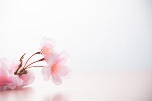 アーティフィシャルフラワーの桜 白背景の写真素材 [FYI04284005]