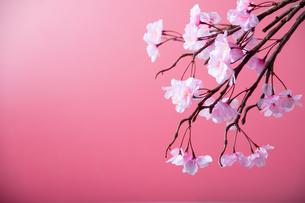 アーティフィシャルフラワーの桜 ピンク背景の写真素材 [FYI04284007]