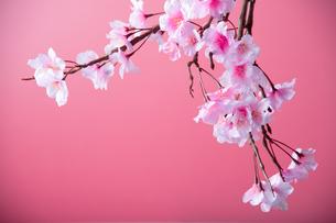 アーティフィシャルフラワーの桜 ピンク背景の写真素材 [FYI04284008]