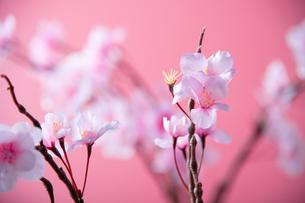 アーティフィシャルフラワーの桜 ピンク背景の写真素材 [FYI04284011]
