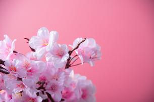 アーティフィシャルフラワーの桜 ピンク背景の写真素材 [FYI04284012]