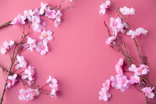アーティフィシャルフラワーの桜 ピンク背景の写真素材 [FYI04284016]