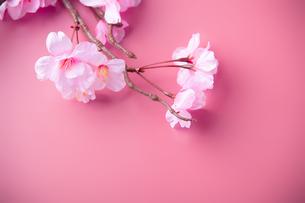 アーティフィシャルフラワーの桜 ピンク背景の写真素材 [FYI04284018]
