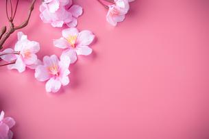 アーティフィシャルフラワーの桜 ピンク背景の写真素材 [FYI04284019]