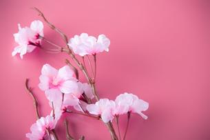 アーティフィシャルフラワーの桜 ピンク背景の写真素材 [FYI04284020]