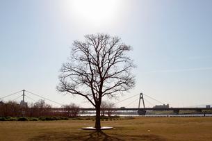 淀川河川敷の1本の木の写真素材 [FYI04284032]