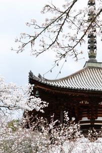根来寺と桜の写真素材 [FYI04284038]