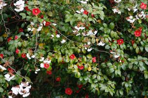 椿と山桜の写真素材 [FYI04284042]
