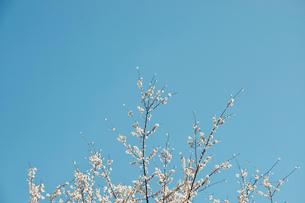 青空と山桜の写真素材 [FYI04284044]