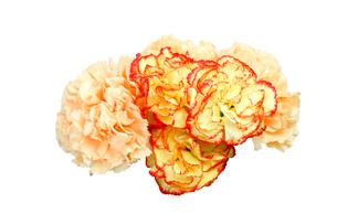 カーネーションの花束の写真素材 [FYI04284085]