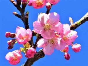 早春の河津桜の写真素材 [FYI04284148]
