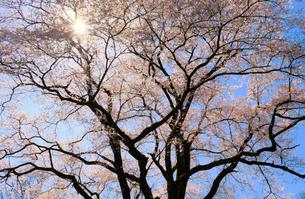 鉢形城の桜 氏邦桜の写真素材 [FYI04284210]