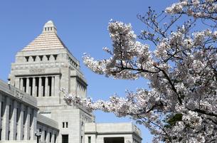 国会議事堂の前庭に咲くサクラ(ソメイヨシノ)の写真素材 [FYI04284234]