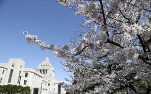 国会議事堂の前庭に咲くサクラ(ソメイヨシノ)の写真素材 [FYI04284235]