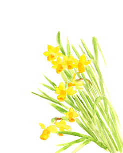 水彩 黄色のミニ水仙のイラスト素材 [FYI04284344]