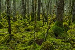 根室 温根沼付近の苔の森の写真素材 [FYI04284409]