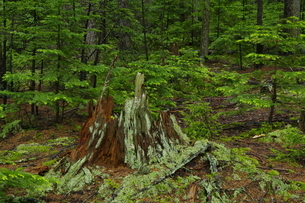 雌阿寒岳山麓 初夏の森の写真素材 [FYI04284425]