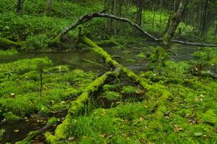 大雪山 十勝三股 苔むす源流の森の写真素材 [FYI04284435]