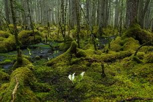 温根沼付近 早春の原生林の写真素材 [FYI04284452]
