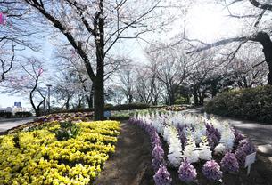 春の飛鳥山公園の写真素材 [FYI04284459]