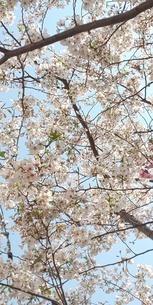 桜と空の写真素材 [FYI04284564]