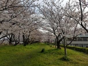 桜の写真素材 [FYI04284572]