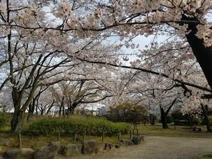 桜の写真素材 [FYI04284578]
