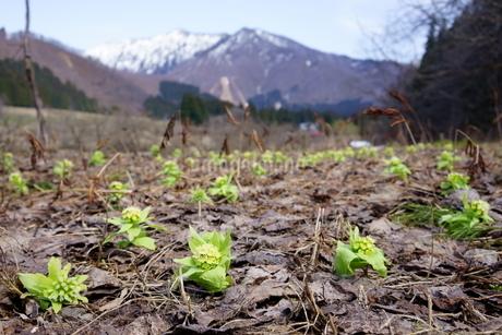 雪がとけた大地から顔を出す春の山菜、ふきのとうの写真素材 [FYI04284672]