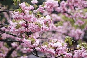 八重桜の写真素材 [FYI04284723]