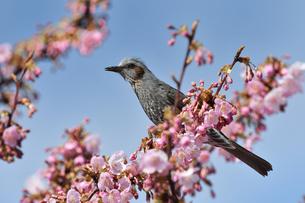 河津桜のヒヨドリの写真素材 [FYI04284744]