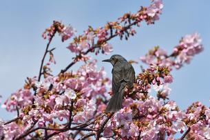 河津桜のヒヨドリの写真素材 [FYI04284746]