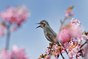 河津桜のヒヨドリの写真素材 [FYI04284749]