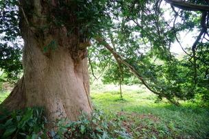 太くて大きなカヤの木の写真素材 [FYI04284756]
