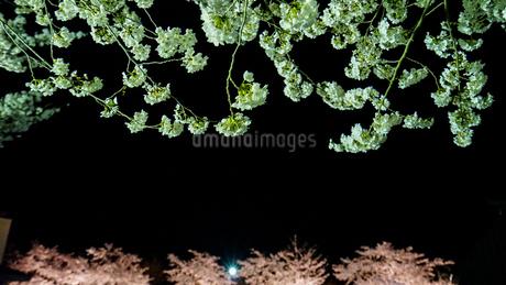 黒背景に文字を載せられる夜桜ライトアップの写真素材 [FYI04284758]