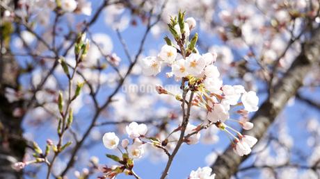 青空に咲く薄ピンク色の花びらが美しい桜、ソメイヨシノの写真素材 [FYI04284761]