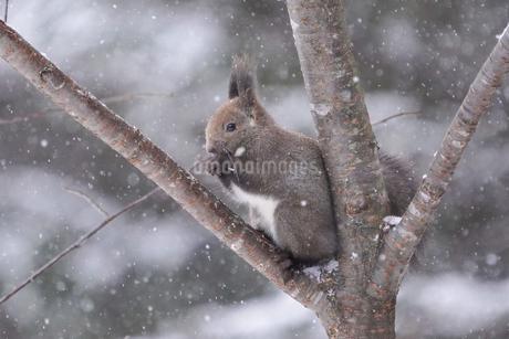 冬のエゾリスの写真素材 [FYI04284929]