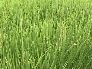 稲の写真素材 [FYI04285018]