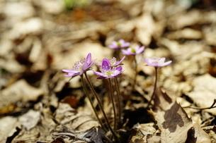 雪割草の写真素材 [FYI04285144]