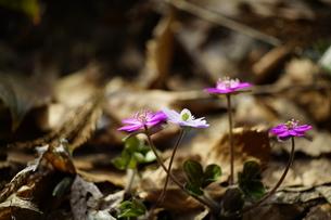 雪割草の写真素材 [FYI04285159]